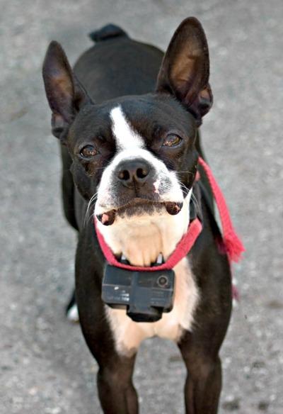 Dog Shock Collar For Pitbull