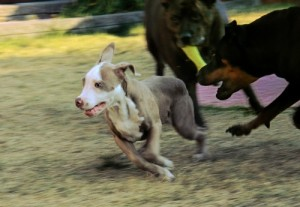 dog being chased