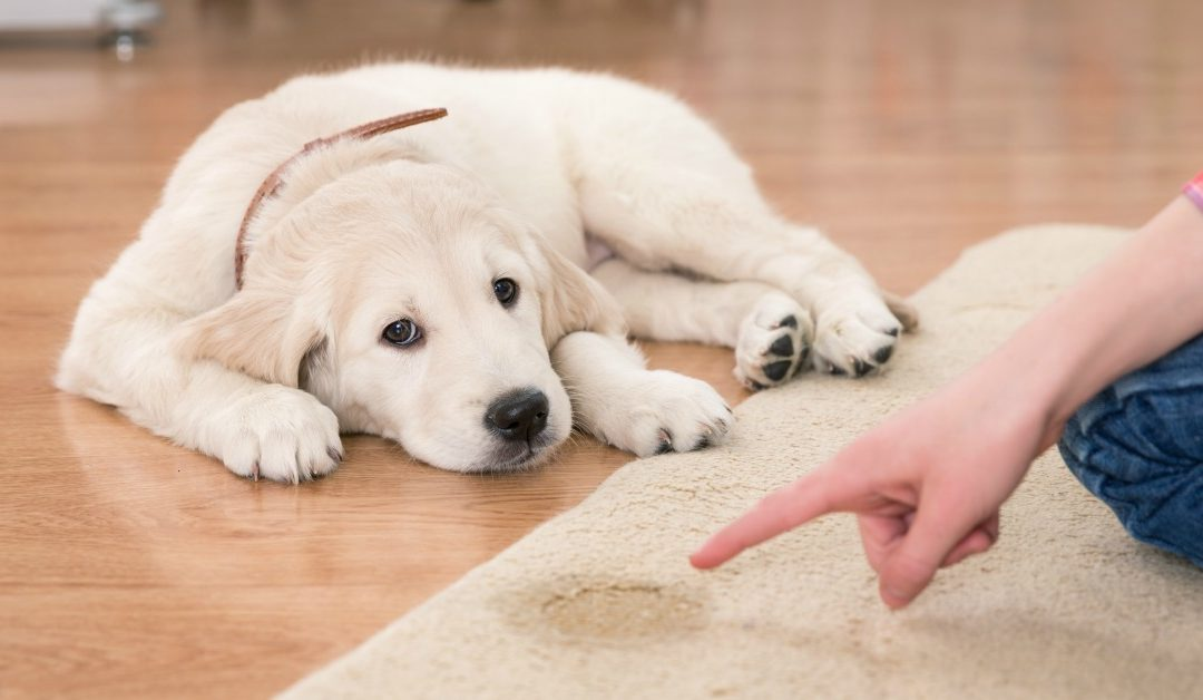 How To Potty Train Your Puppy House Training Done Right