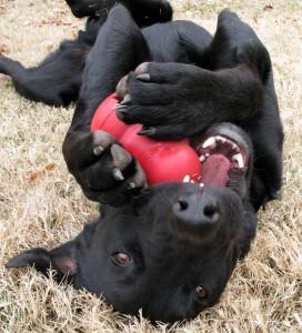 Dog with Kong