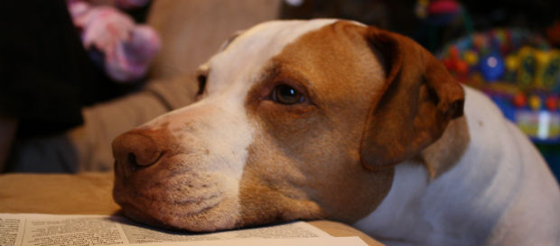5 Life Lessons from a Pit Bull